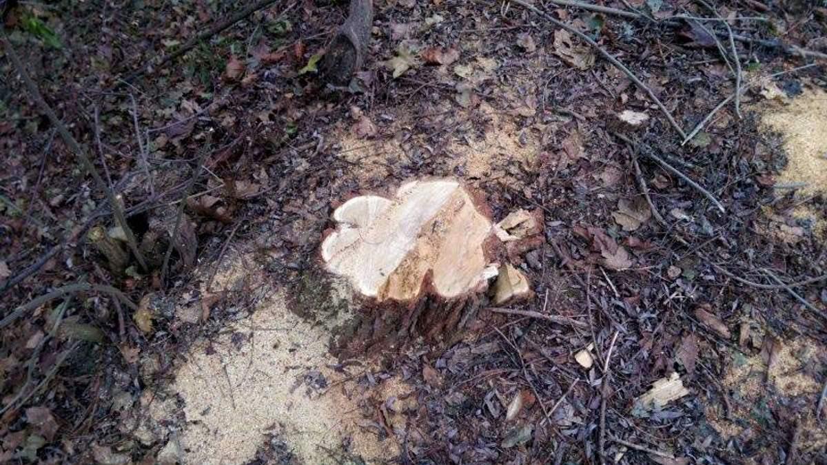 Яценюк позволил вырубать лес в заповедниках, — эколог