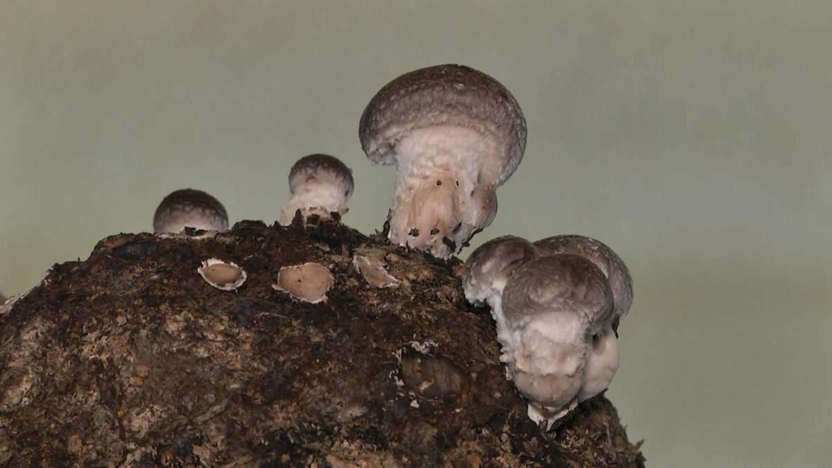 Як українці побудували успішний бізнес на вирощувані екзотичних грибів