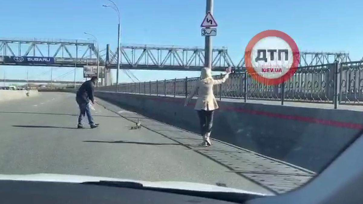У Києві водії допомогли перейти дорогу качці та каченятам