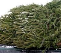 В Киеве уже продают новогодние елки